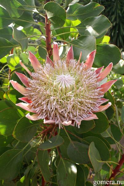 La Gomera - Botanisk trädgård