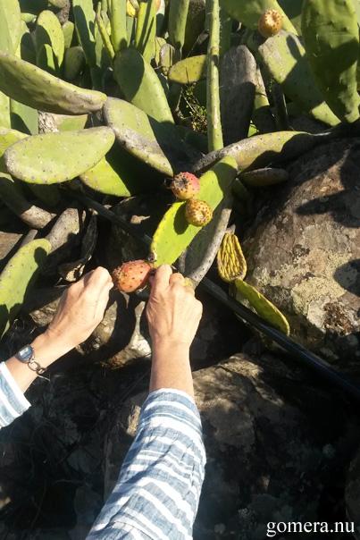 Ingalill skar kaktusfikon