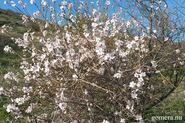 mandelträd la gomera